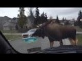 Epic Moose Fight Took Place In Alaskan Neighborhood In Front Of Curious Humans