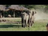 Elephant Herd Greets The Tractor Driver Every Morning