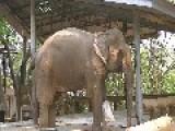 Elephant Steps On A Landmine Needs Prosthetic Leg