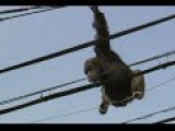 Escaped Chimp Makes High Wire Get Away In Japan