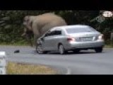 Elephant Scratches His Ass On The Hood Of A Car