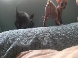 Energetic Hairless Kittens Play On A Bed
