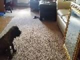 English Mastiff Puppy Makes A New Friend