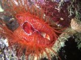 Electric Disco Clam