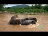 Elephants Protect Baby Elephant From Strong River Current