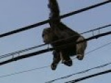 Escaped Chimp In Japan