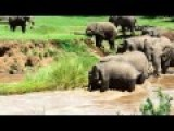 Elephant Calf Nearly Washed Away While Crossing Swollen River