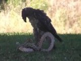 Eagle Hunting A Rattle Snake