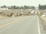 Elk Herd Is Massive