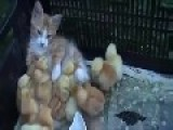 Funny Videos - Cat Warms Chicks