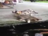 Flying Fish Attacks Two Cats