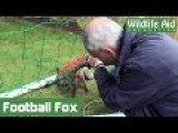 Fox Cub Trapped In Football Net Freed!