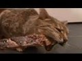 Freya Bengal Cat Goes Mad For Rack Of Ribs
