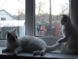 Frisky Cat Fight On Windowsill