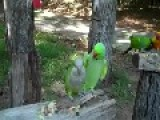 Funny And Cute Parrot Couple Kissing Video