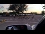 Family Of Geese Cr 2977 Ossing A Road On A Zebra Crossing