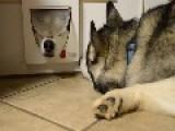 Funny Siberian Husky