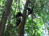 Female Howler Monkey Shares Unconventional Flirting Technique