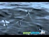 Flying Fish: They Are Living Since 100 Million Years