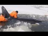 Free Willy! Rescuers Save Killer Whales From Ice In Russia's Far East