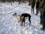 Funny Dogs Fighting For A Wooden Stick