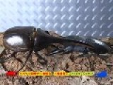 Final Match: Stag-Beetle VS Hercules-Beetle Champion-Fight