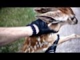Friendly Police Officer Rescues Cute Baby Bambi Fawn Stuck & Trapped In Fence