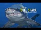 Fact About Bull Shark - The Most Dangerous Sharks