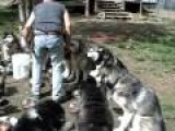 Food Time For A Disciplined Pack Of Alaskan Malamutes
