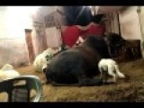Funny Dog Humping A Giant Bull | Epic
