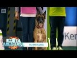 Golden Retriever Excels In Showing Dogs How It Should Be Done