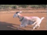 Gary The Goat Goes To Boot Camp On The Way To Bamaga - Watch This Video And See How Fast Goats
