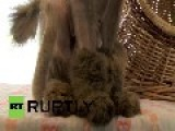 Germany: This Shaved And 'booted' Kitty Needs A New Home