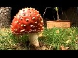 Growth Of Amanita Muscaria In 3 Days