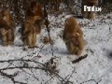 Golden Snub-Nosed Monkeys Play In The Snow