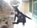 Goats Playing Swing