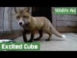 GoPro Video - Fox Cubs Going Nuts!
