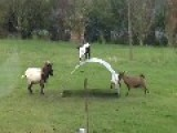 Goats Playing On A Sheet Of Metal In A Field