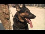 German Shepherd K-9 Attack Training