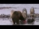 Grizzly Bear Battles A Pack Of Wolves For Food