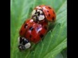 GRAPHIC - Ladybugs Mating On Marijuana Leaf
