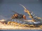 Giant Asian Hornet VS Okinawan Giant Centipede