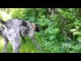 German Pointer Luna 2017 Find A Baby Robin