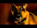 German Shepherd - Dreaming And Waking Up