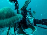 Giant Pacific Octopus Engages In Wrestling Match With Photographer