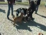 GRAPHIC DOG FIGHT Great Dane VS Pit Bull, Pit Bull, Pit Bull Etc