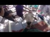 Gary The Goat Goes To The Broome Markets