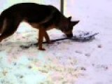 German Shephard Shovels Snow