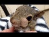 Grey Squirrel Has Abscess Drained On One Of It's Cute Lil Cheeks About As Graphic As Popping One Of Your Own
