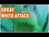 Great White Shark Attacks Metal Cage | Shark Bait